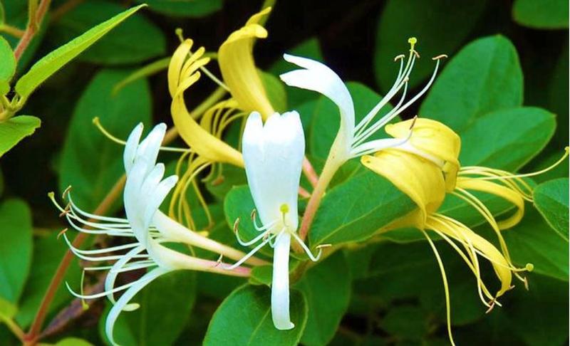 E njihni këtë lule? Pregatiteni në këtë