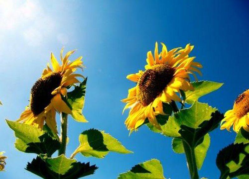 Të pasura me vitaminë E, konsumimi i farave të lulediellit