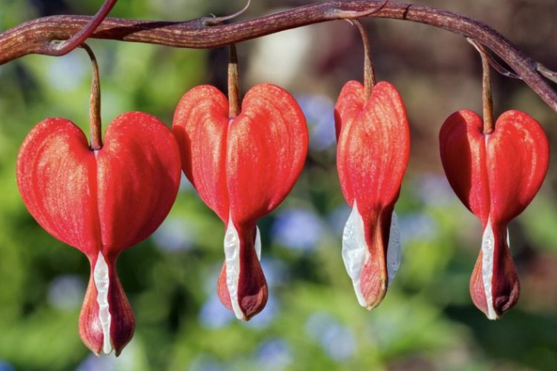 Heals hearts and minds, this is the flower with magical abilities for our health