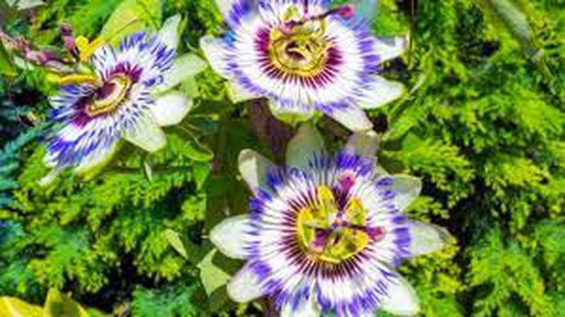 Relieves pain, fights stress and anxiety, this is the flower that works wonders