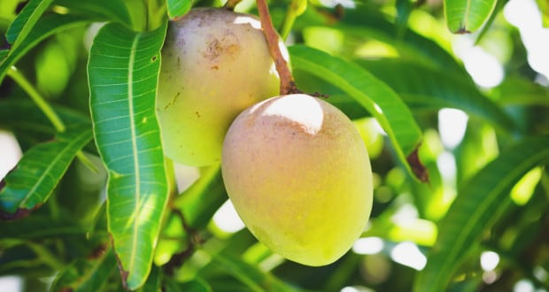 10 Unknown Benefits of Mango Leaves: Dont Throw Them Away! - NDTV Food