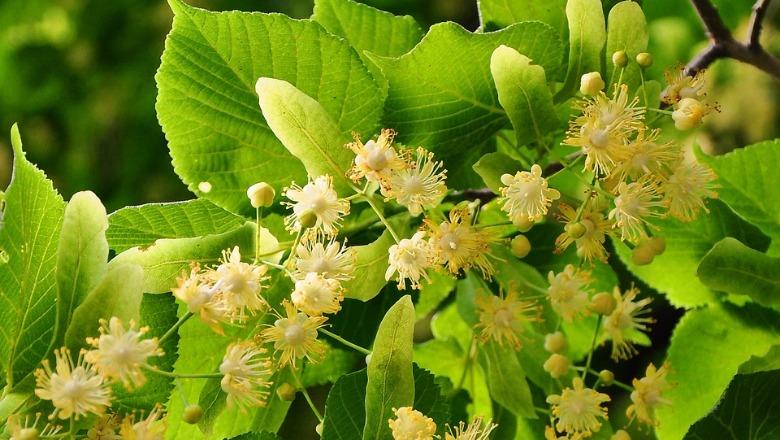 Lulet e blirit, arma më e fortë bimore për shëndetin - Shqiptarja.com
