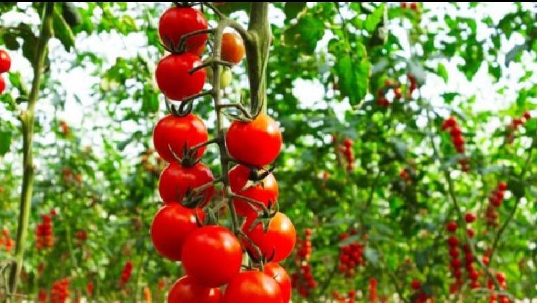 Në BE, më shumë domate shqiptare se Greqia, Serbia, Rumania e ...