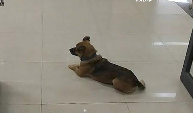 Si në filmin Hachiko, ky qen pret në spital të zotin që vdiq