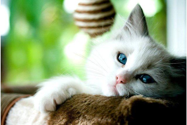 Shkencëtarët komfirmojnë infektimin e maceve nga njerëzit