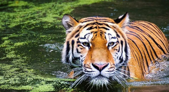Indonesia / Two tigers at the zoo were infected with the coronavirus